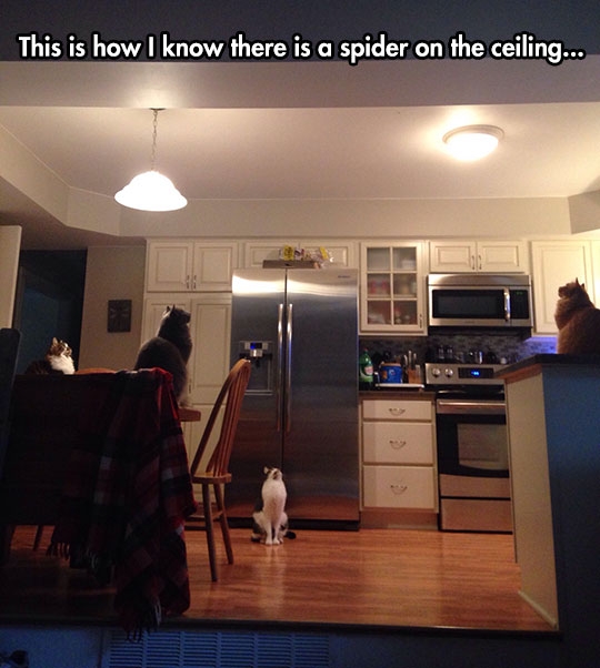 funny-cats-looking-ceiling-kitchen-spider