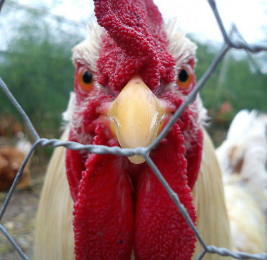 funny-chicken-fence-staring-mad
