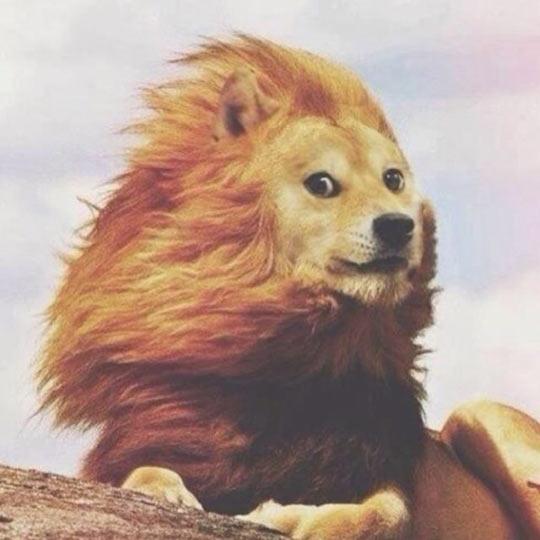 funny-lion-Doge-mane-wind