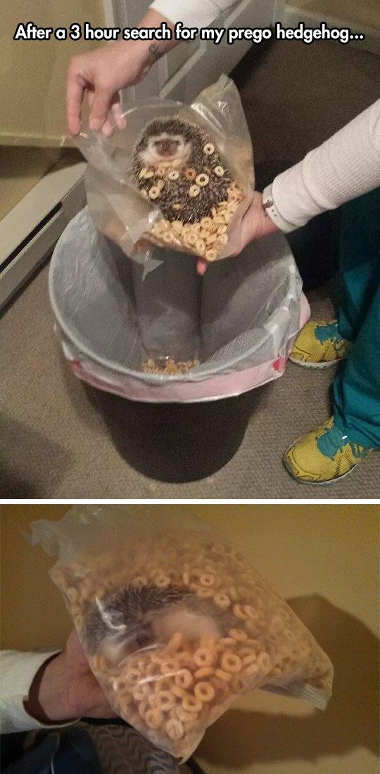funny-pregnant-hedgehog-trash-can-food
