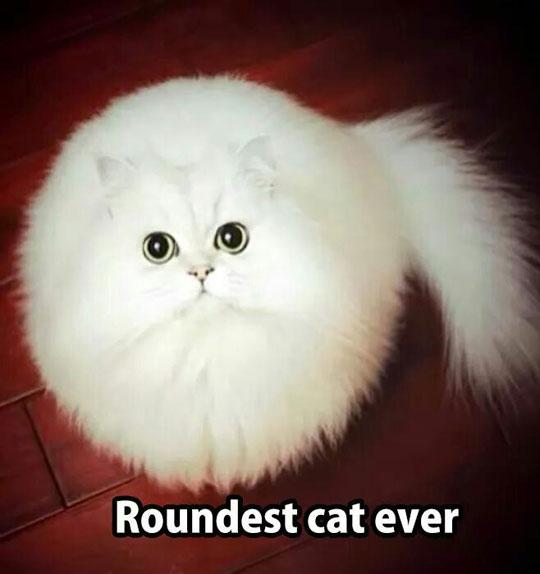 funny-round-cat-white-fur