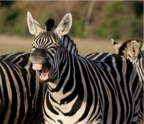laughing-zebra