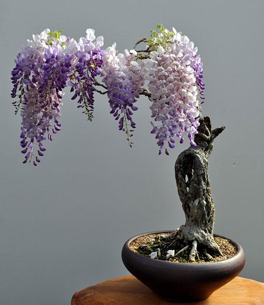 Beautiful Bonsai Wisteria