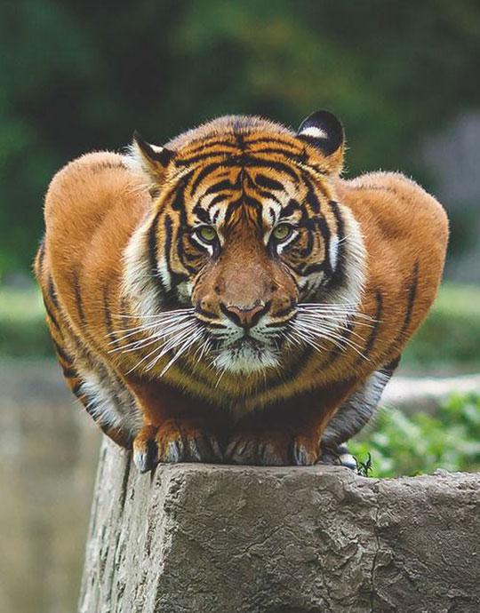 Crouching Tiger, Just A Big Kitty