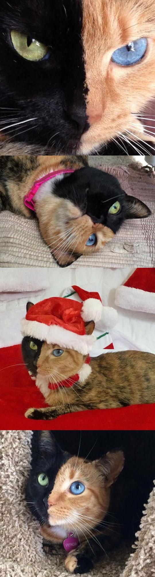 cute-cat-eyes-color-Venus