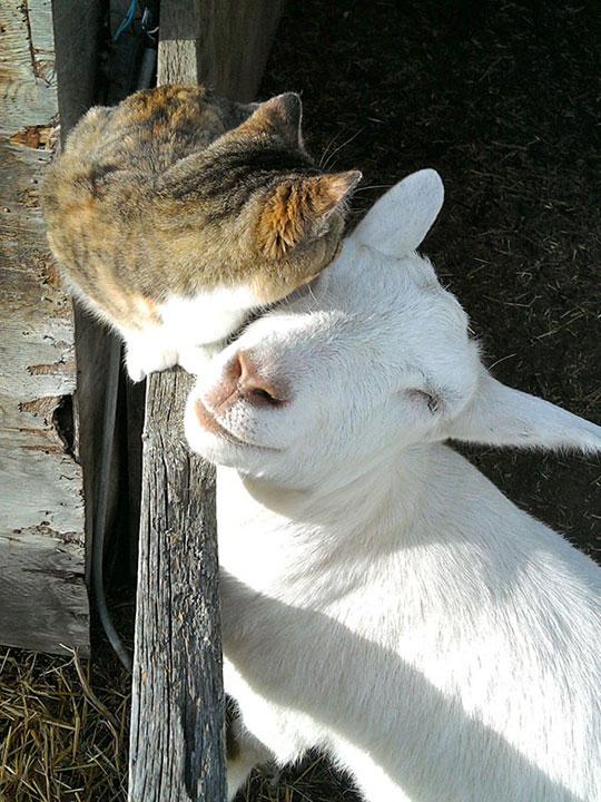 cute-cat-goat-friendship-farm