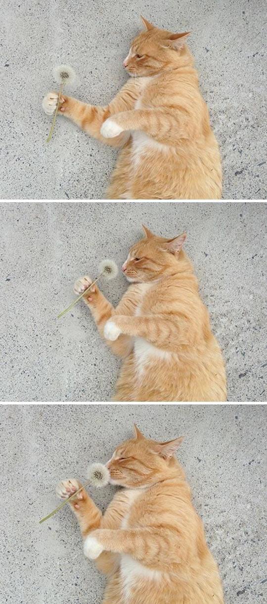 funny-cat-dandelion-smelling-flower