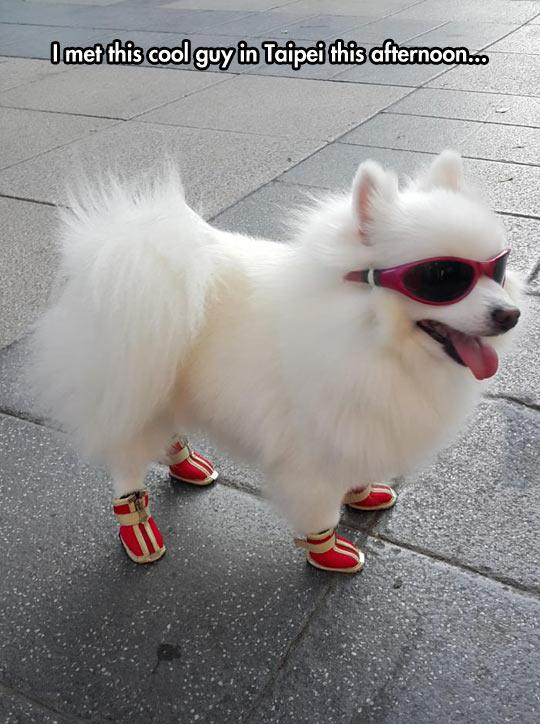 funny-dog-cool-shoes-sun-glasses
