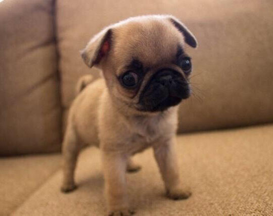 This Baby Pug Looks Like A Cartoon
