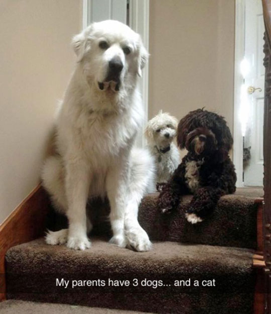funny-dogs-pets-hidden-cat
