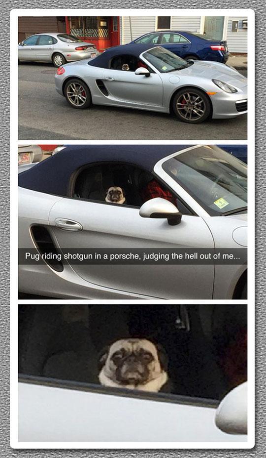 funny-pug-sitting-car-Porsche