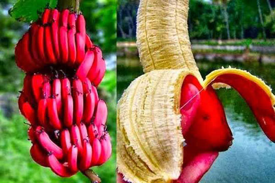 Banana Red Peel