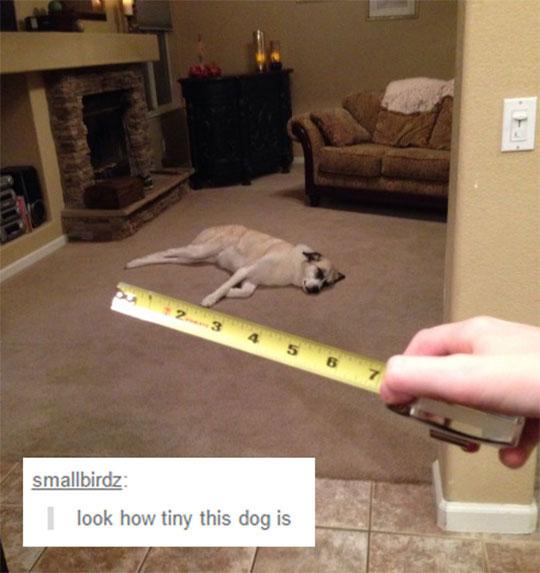 funny-ruler-dog-living-room