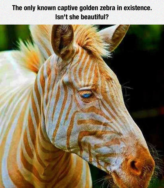 Gorgeous Golden Zebra