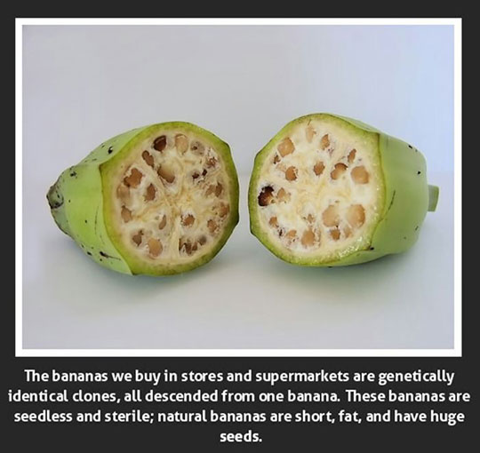 A Banana Fact For You Guys