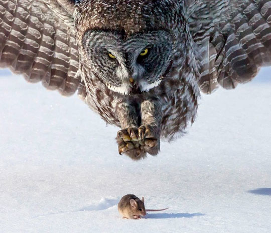 cool-owl-hunting-mouse-snow