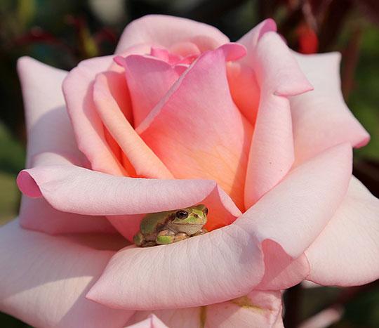 cute-little-frog-flower-shadow