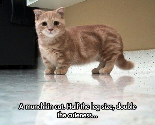cute-short-legged-cat-Munchkin