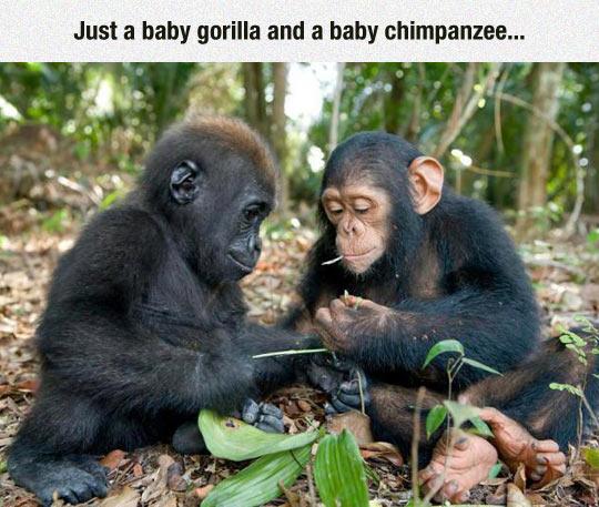 funny-apes-babies-gorilla-chimpanzee