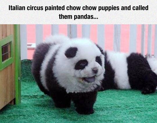 Panda Puppies