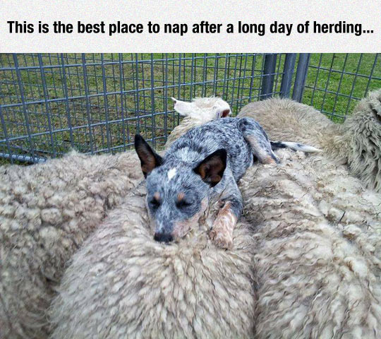 funny-dog-sleeping-over-sheep