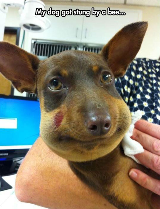 funny-dog-stung-bee-face