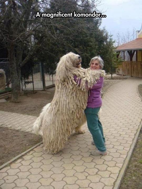 funny-giant-dog-Komondor-woman