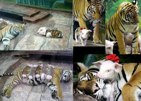 Tiger Adopts Baby Pigs