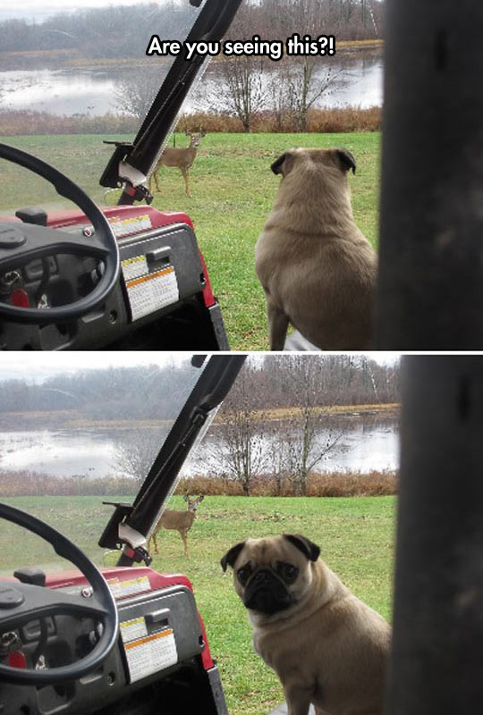 Pug Shocked By A Deer