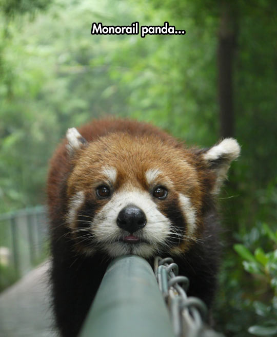 funny-red-panda-lying-monorail