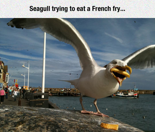 funny-seagull-trying-French-fry