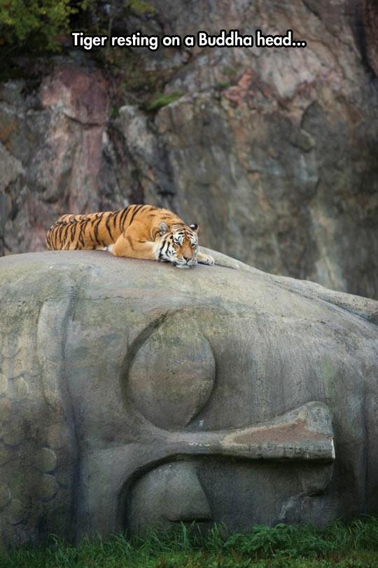 funny-tiger-giant-head-Buddha