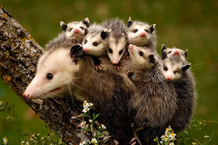 An opossum and her babies.