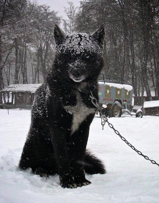 Majestic Black Wolf Hybrid