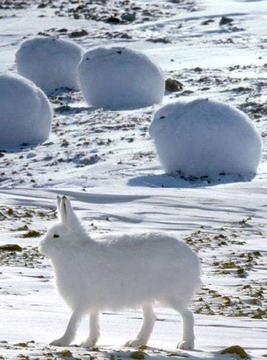 cute-Arctic-hare-bunny-snow