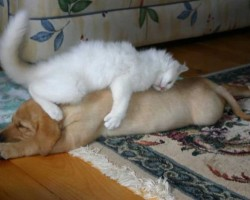 cute-cats-sleeping-on-dogs-1__605