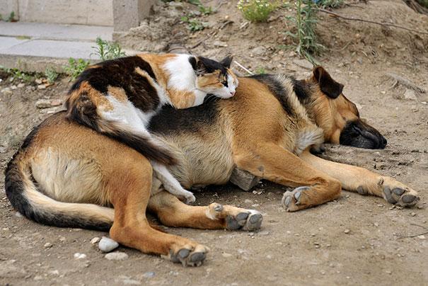 cute-cats-sleeping-on-dogs-23__605