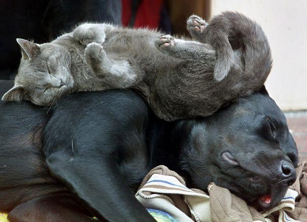 cute-cats-sleeping-on-dogs-2__605