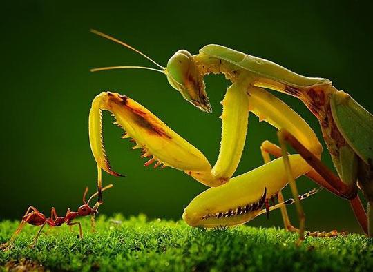 Praying Mantis Meets Ant