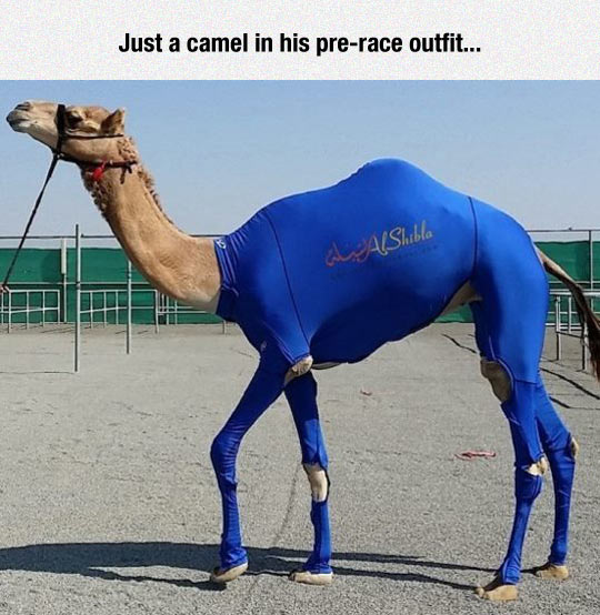 Fabulous Camel Is Ready For The Race