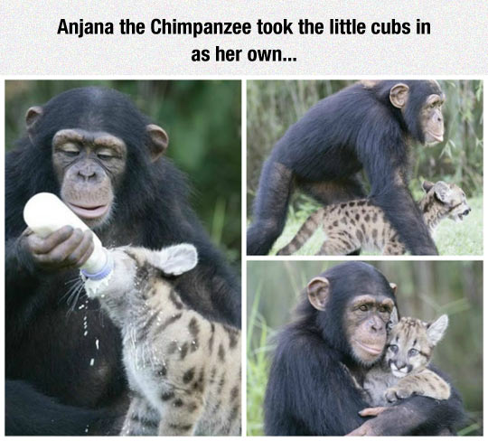 funny-chimpanzee-cub-milk-feeding