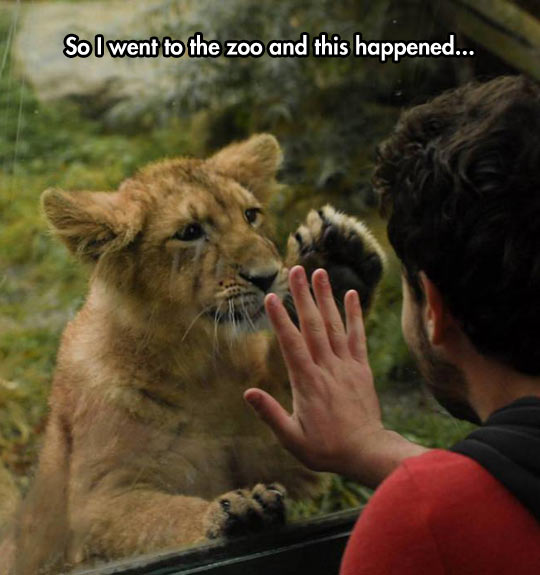 funny-cub-lion-zoo-paw-hand