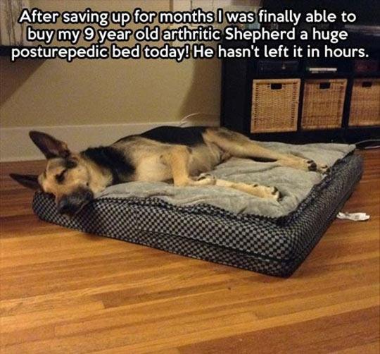 funny-dog-sleeping-arthritic-Posturepedic-bed