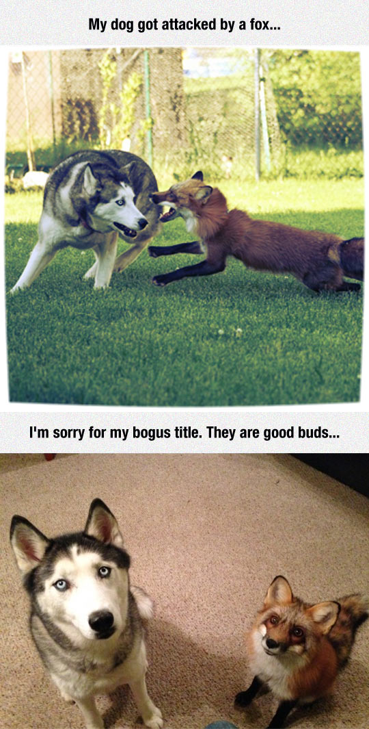 Fox Attacks Dog