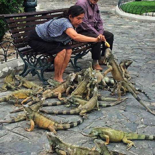 funny-iguana-birds-alike-eating-park