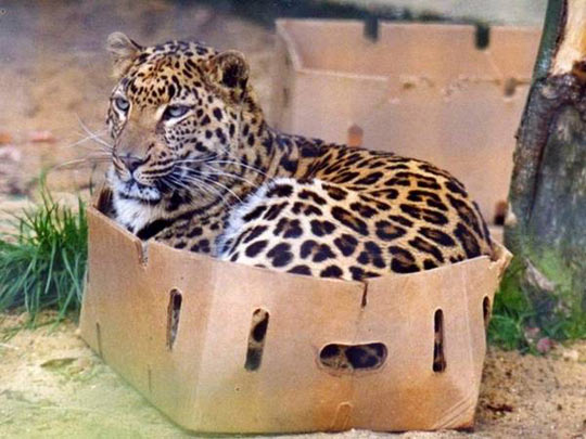 funny-tiger-box-sitting-fit-cat-behave