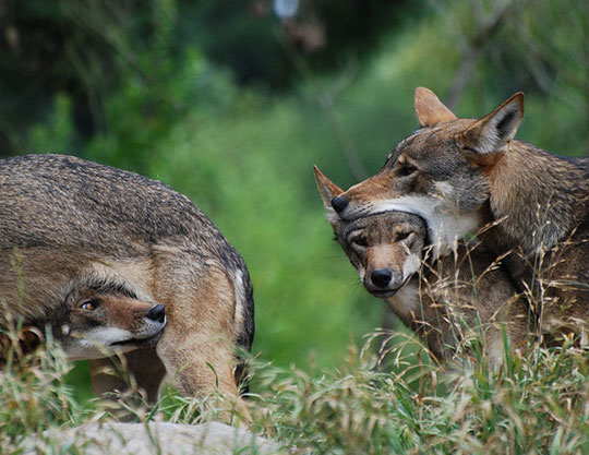 funny-wolf-biting-head-playing