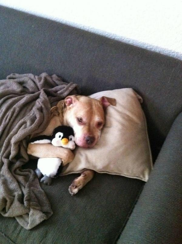 A dog who is taking a sick day to spend more time with his penguin