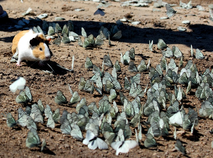 A wild guinea pig playing in a flock of butterflies