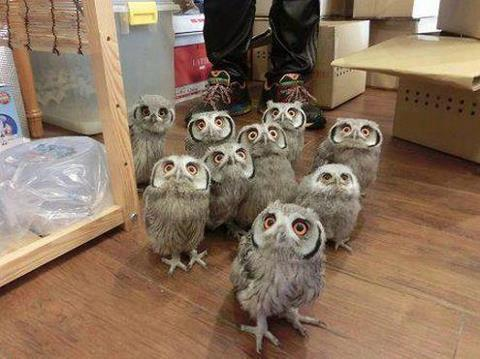 A wild herd of owls approaches!